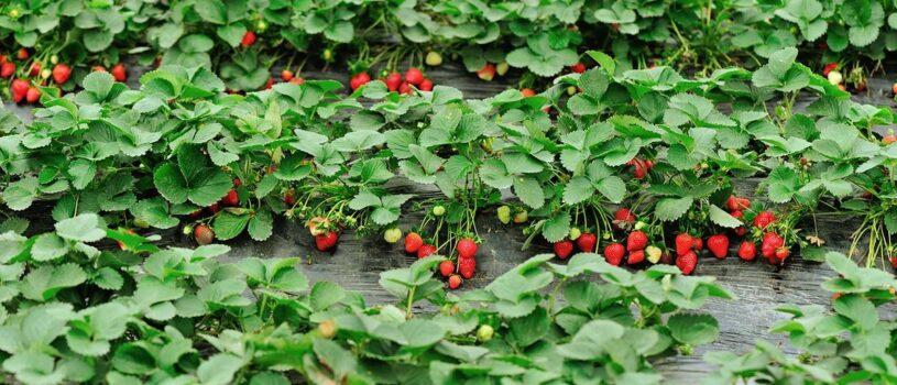 Начало сбора урожая клубники в совхозе имени Ленина в 2020 году