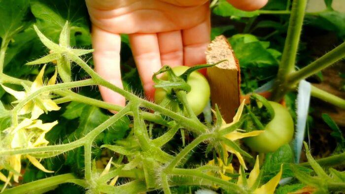 уход за рассадой томатов после высадки в открытый грунт в 2020 году фото