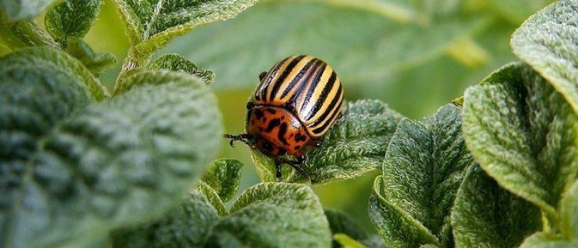 Народные средства от колорадского жука: рейтинг эффективных, список вредных