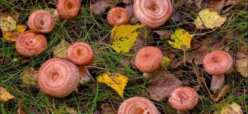 Волнушки грибы - фото и описание, чем полезны, виды
