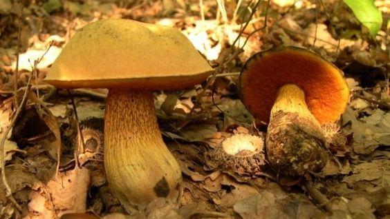 белый гриб съедобный или нет