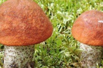 подберезовик гриб фото и описание