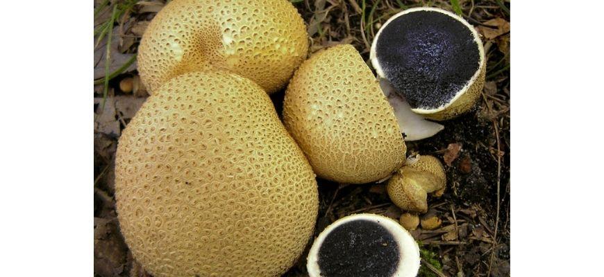 как выглядит гриб дождевик