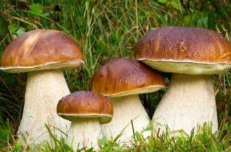 белый гриб фото и описание и похожие