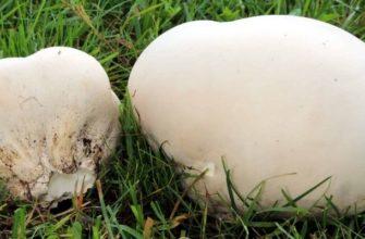 Головач - род грибов, целебные свойства гриба, описание, фото