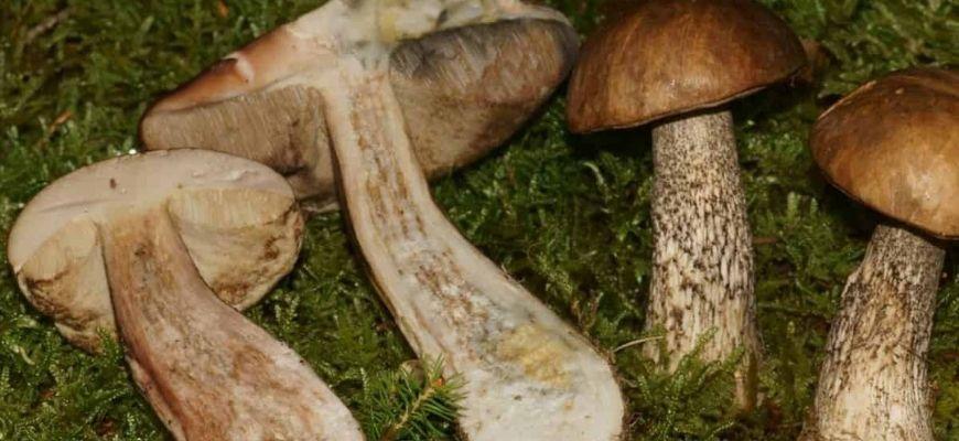 грибы подберезовики