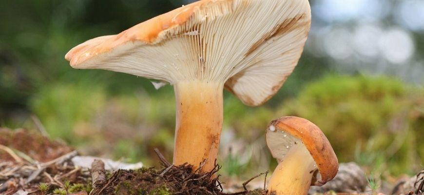 Грузди грибы - фото и описание