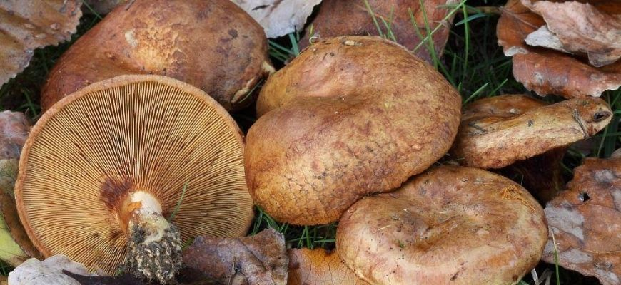 Гриб свинушка - фото и описание, разновидности, польза и вред