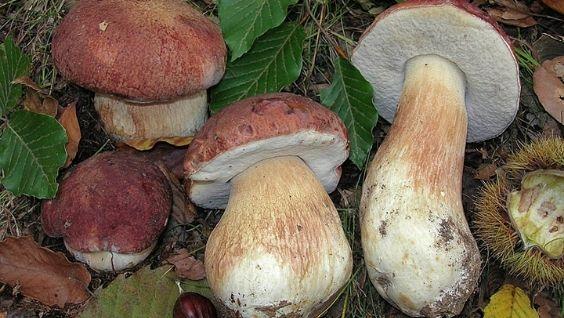 описание белого гриба