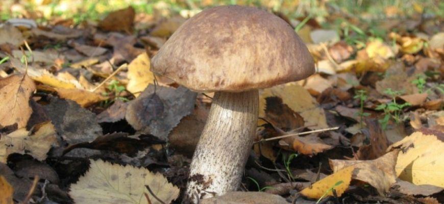гриб подберезовик фото и описание