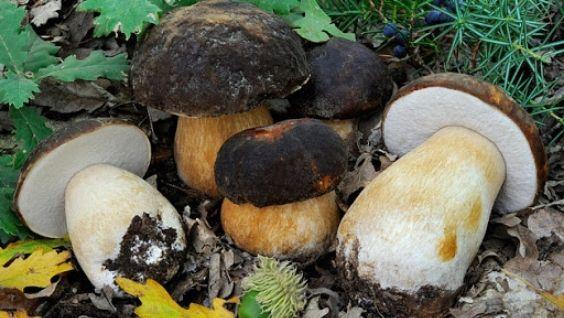как выглядят белые грибы