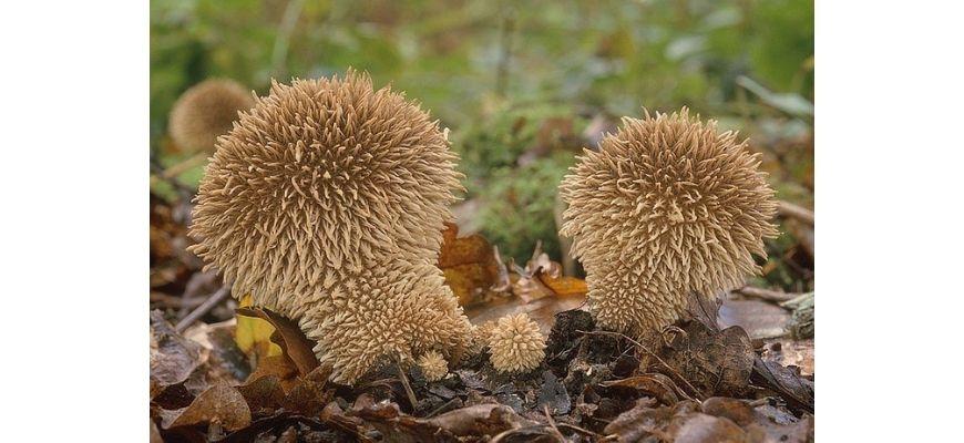дождевики грибы