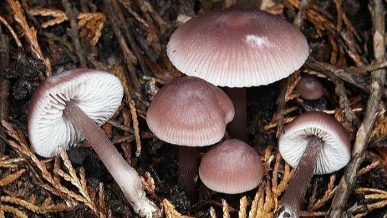 псилоцибиновые грибы, фото