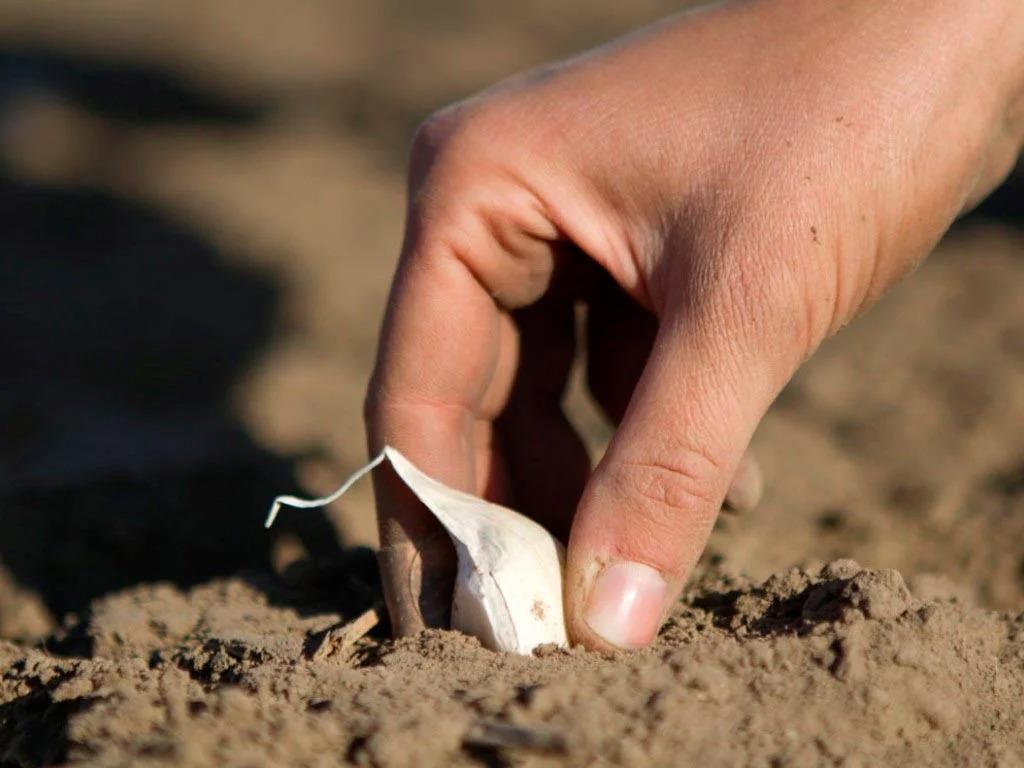 Когда сажать осенью чеснок в 2021 году