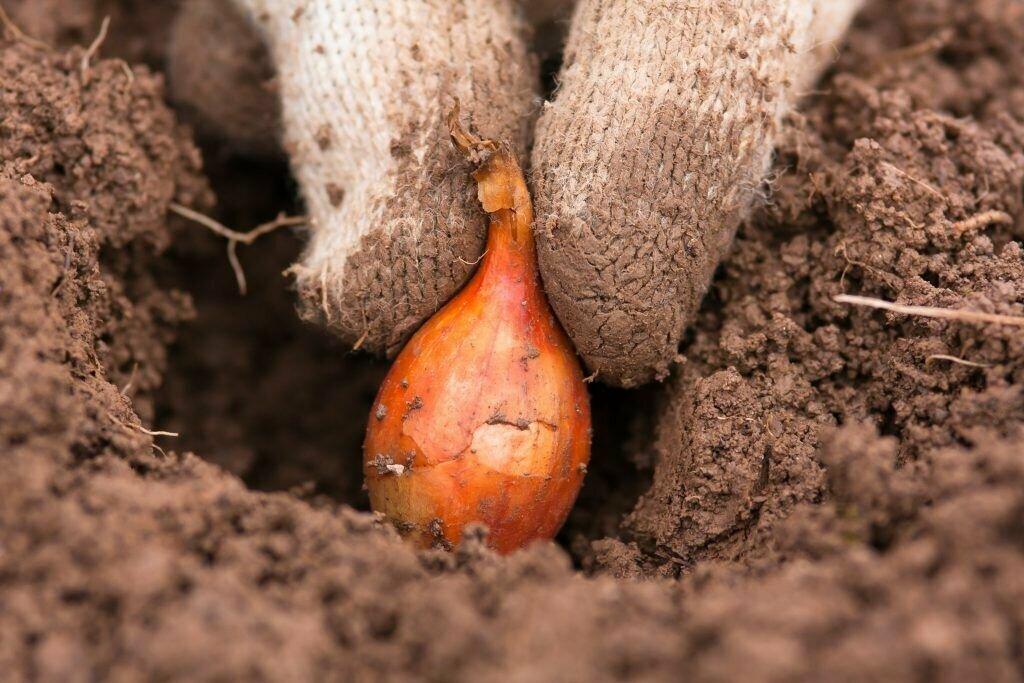 Когда сажать весной лук севок в 2021 году