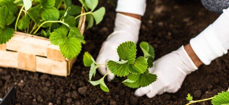 Когда сажать клубнику весной в открытый грунт в 2021 году