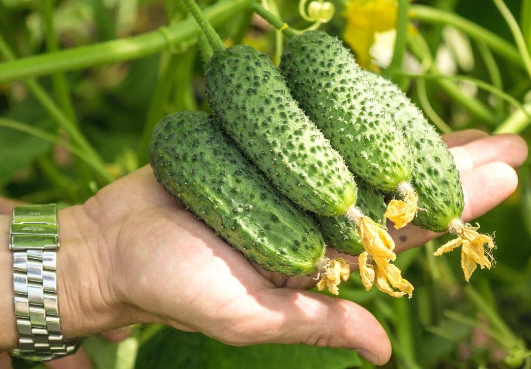 Когда сажать огурцы в открытый грунт рассадой и семенами весной в 2021 году