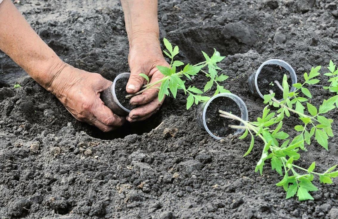 Когда сажать помидоры в открытый грунт весной в 2021 году