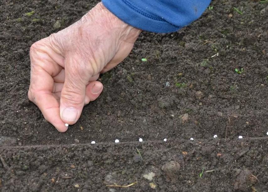 Когда сажать морковь весной в открытый грунт в 2021 году