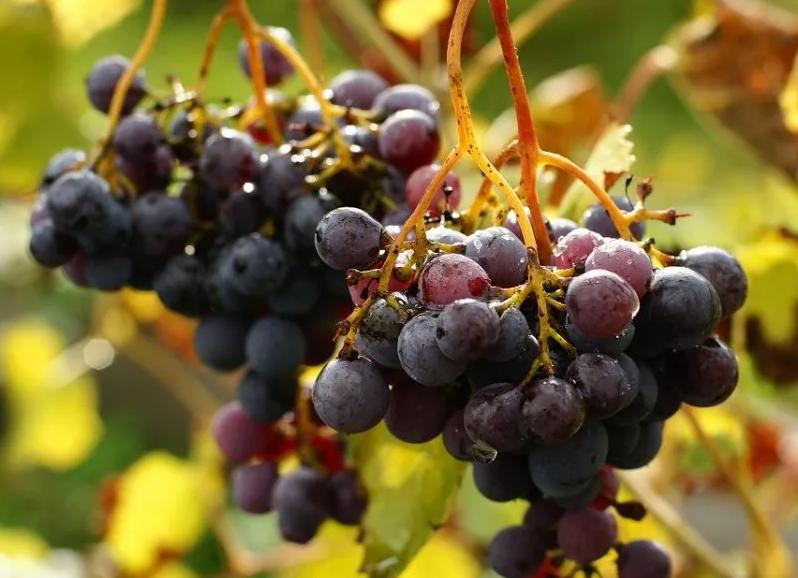 Когда сажать виноград осенью в 2021 году
