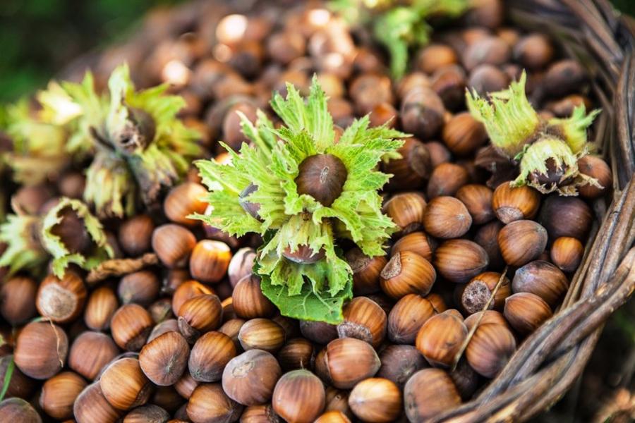 Когда собирать орехи в лесу и как сушить в 2021 году