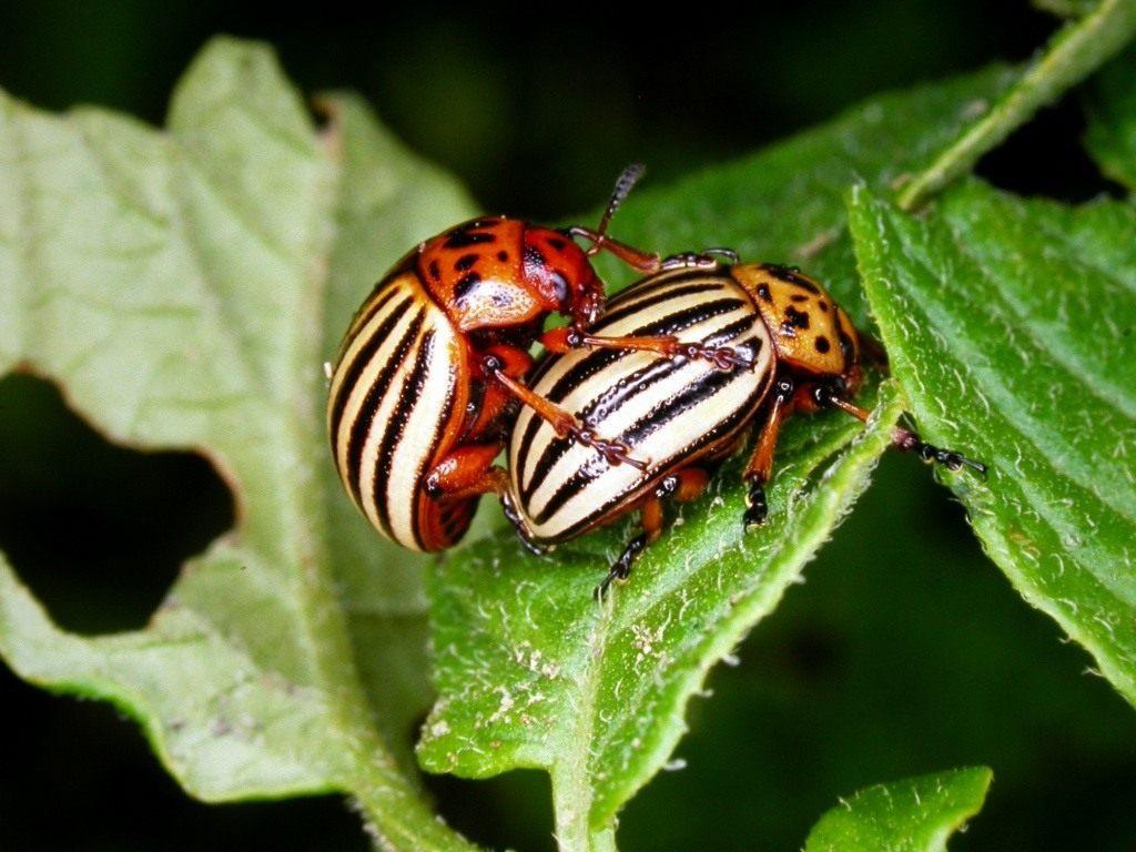 6 способов избавления от колорадского жука