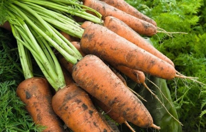 морковь семена сладкие сорта