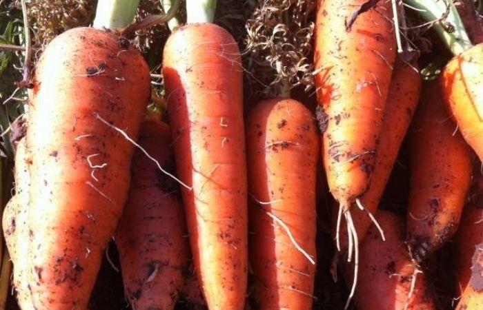самые сладкие и сочные сорта моркови