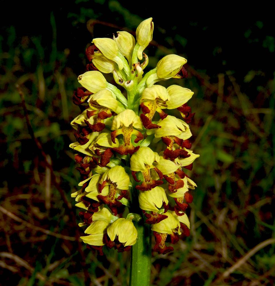 Самые красивые виды орхидей из рода Orchis
