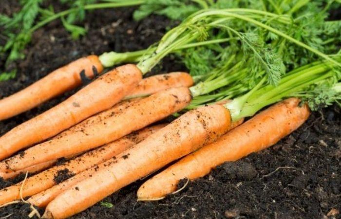 лучшие сорта моркови для сибири крупные сладкие
