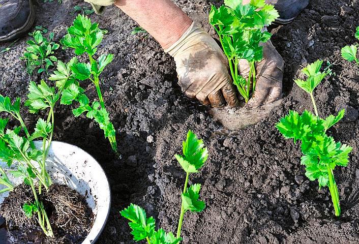 Корневой сельдерей. Выращивание в земле
