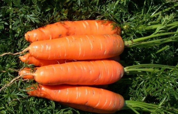 морковь ранняя сладкая сорта
