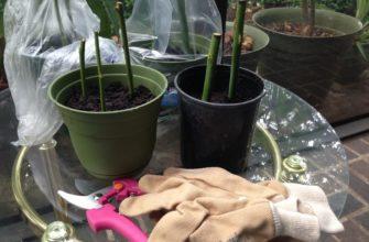 Укоренение черенков розы в домашних условиях