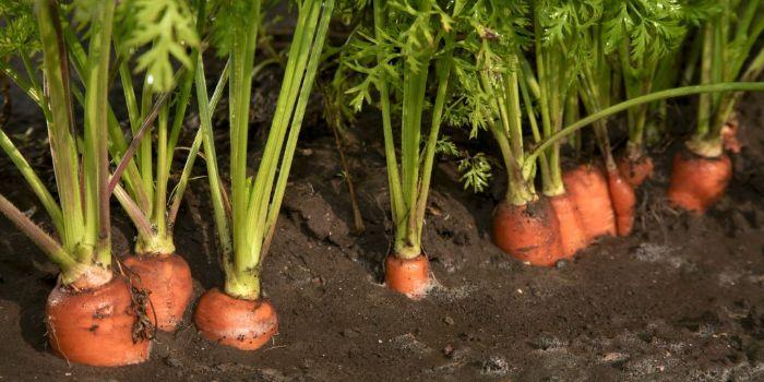 чем удобрять морковь