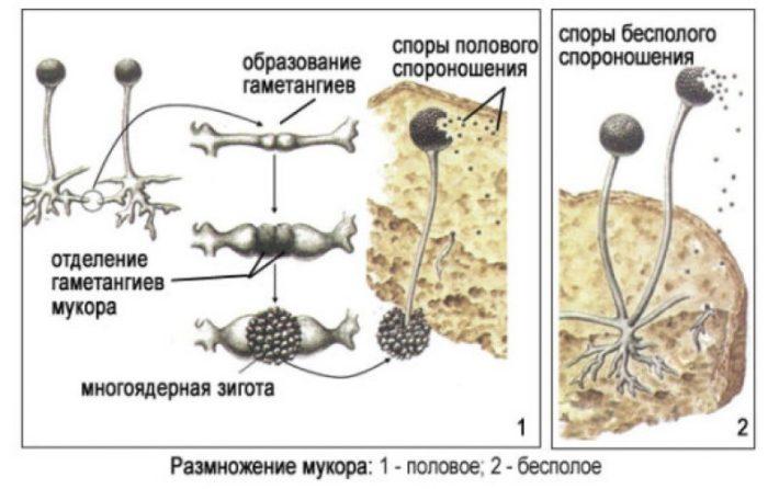 Чем пеницилл отличается от мукора: по строению, виду, размножению, применению