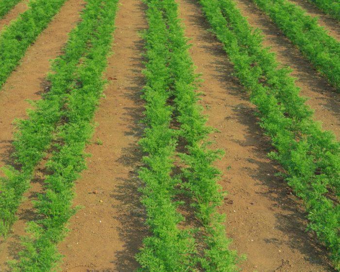 как влияет режим полива на урожай моркови