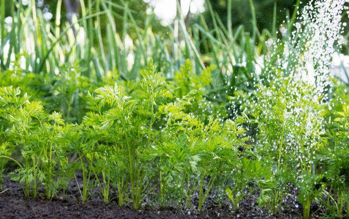 полив моркови в августе