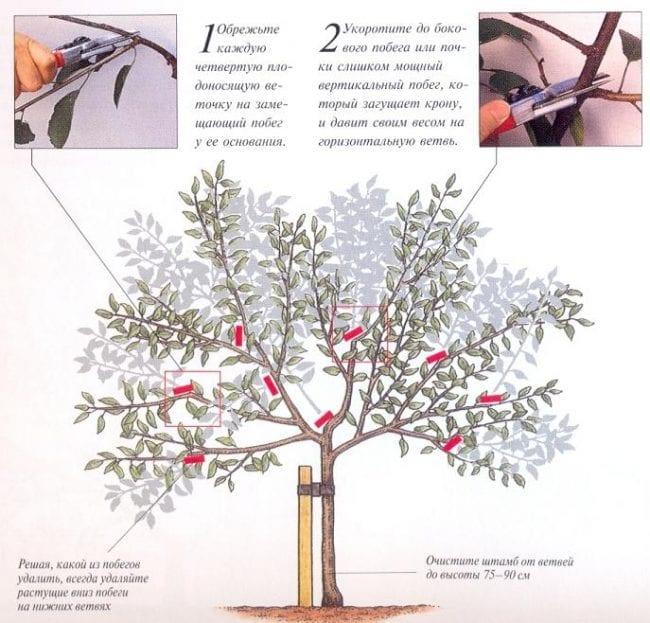Как и когда проводится правильная обрезка черешни и вишни: формирование кроны, санитарная и омолаживающая