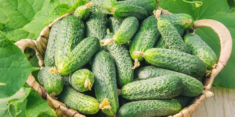Огурцы: сорта высокоурожайные для открытого грунта