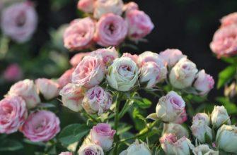 Роза спрей: что это такое, фото