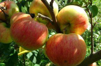 Яблони: зимние сорта для средней полосы
