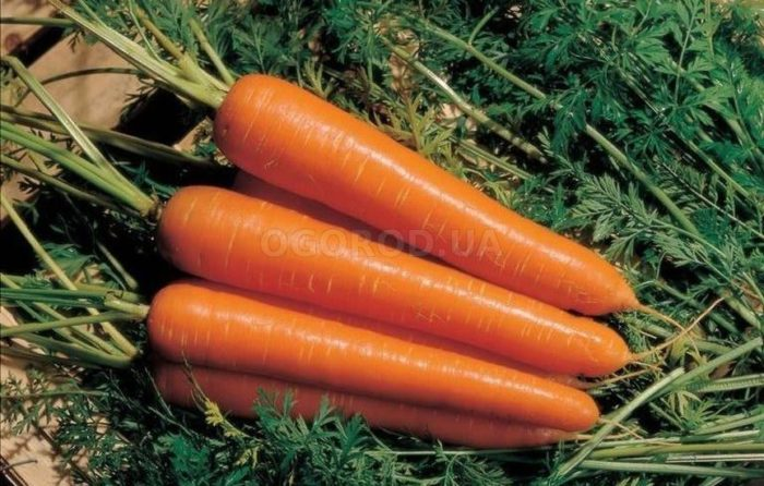 Морковь «Амстердамская»: описание и характеристика сорта